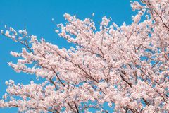 Beautiful cherry blossom sakura in spring  time with sky  background in Japan. Beautiful cherry blossom sakura in spring time with sky  background in Japan royalty free stock photography