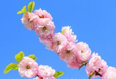 Beautiful cherry blossom sakura royalty free stock photos