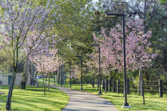 Beautiful cherry blossom at Schabarum Regional Park. Rowland Heights, Los Angeles County, California Stock Images