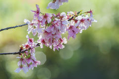 Beautiful cherry blossom at Schabarum Regional Park Royalty Free Stock Photography