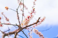 Beautiful cherry blossom in soft focus. Beautiful cherry blossom in soft focus Stock Image