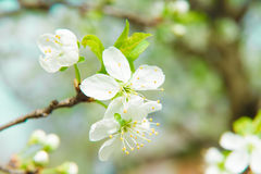 Beautiful cherry blossom in spring. Blossom tree. Over nature background. Spring Background Stock Image