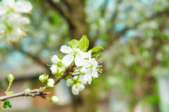 Beautiful cherry blossom in spring. Blossom tree. Over nature background. Spring Background Stock Photo