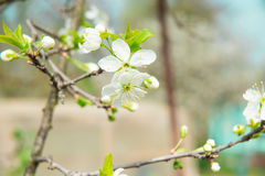 Beautiful cherry blossom in spring. Blossom tree. Over nature background. Spring Background Royalty Free Stock Images