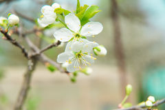 Beautiful cherry blossom in spring. Blossom tree. Over nature background. Spring Background Stock Photos