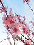 Beautiful cherry blossom in spring stock image