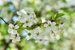 Beautiful cherry blossom in the spring garden, sakura in spring time stock image