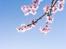 Beautiful cherry blossom in spring stock photo
