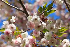 Pink cherry blossom in spring. Beautiful cherry blossom in the spring Royalty Free Stock Image