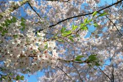 Beautiful cherry blossom in the spring on sky blue background. White sakura flower. royalty free stock images