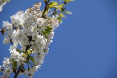 Beautiful cherry blossom in spring time over blue sky stock photography