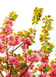 Cherry blossom in springtime, sakura Royalty Free Stock Image
