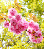 Cherry blossom in springtime, sakura Stock Photography