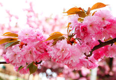 Cherry blossom in springtime, sakura Royalty Free Stock Photo