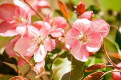 Beautiful cherry blossom springtime sunny day garden landscape. Blossoming pink petals fruit tree branch. Shallow depth. Of field, copy space royalty free stock images