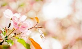 Beautiful cherry blossom springtime sunny day garden landscape. Blossoming pink petals fruit tree branch, tender blurred Royalty Free Stock Image