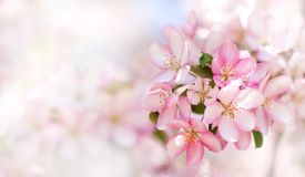 Beautiful cherry blossom springtime sunny day garden landscape. Blossoming pink petals fruit tree branch, tender blurred Stock Image