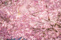 Beautiful cherry blossom on a sunny spring day royalty free stock images