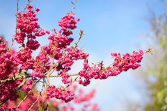 Beautiful Cherry Blossom on sunshine day in Alishan National Park,Taiwan. Stock Image