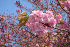 Beautiful cherry blossom Stock Photography
