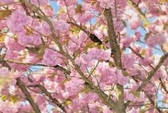 Beautiful Cherry Blossom Tree Stock Photos