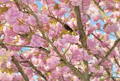 Beautiful cherry blossom tree. Close on pink flower of a beautiful cherry blossom tree in spring stock photos
