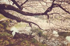 Beautiful cherry blossom tree Royalty Free Stock Image