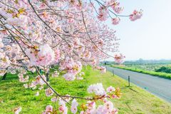Beautiful cherry blossom trees , sakura blooming beside the country road in spring day. Beautiful cherry blossom trees or sakura blooming beside the country road royalty free stock image