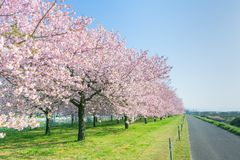Beautiful cherry blossom trees or sakura blooming beside the country road in spring day. royalty free stock photography