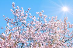 Beautiful cherry blossom trees or sakura blooming in spring day. With sunrise background royalty free stock photos