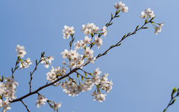 Beautiful Cherry blossom , white sakura Stock Photos