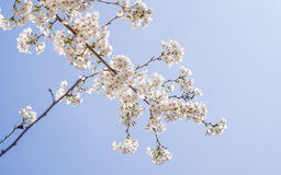 Beautiful Cherry blossom , white sakura Royalty Free Stock Images
