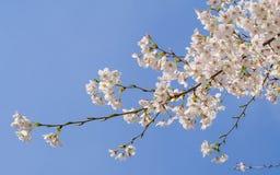 Beautiful Cherry blossom , white sakura Stock Photo