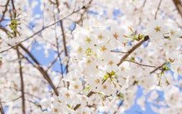 Beautiful Cherry blossom , white sakura Stock Image