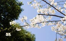 Beautiful Cherry blossom , white sakura Stock Photos