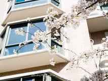 Beautiful Cherry blossom , white sakura Royalty Free Stock Photo