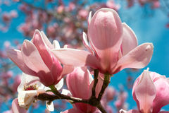 Beautiful cherry blossoms Royalty Free Stock Image