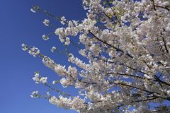 Beautiful cherry blossoms against blue sky in spring season. At University of Washington, Seattle, Washington state, USA royalty free stock images