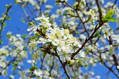 Beautiful cherry blossoms. stock images