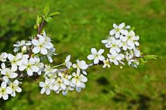 Beautiful cherry blossoms. royalty free stock photography