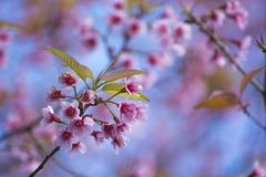 Beautiful cherry blossoms Royalty Free Stock Photography