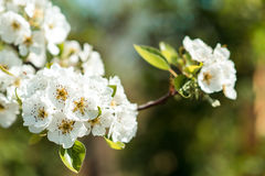 Beautiful cherry blossoms with blue sky. Spring. Royalty Free Stock Photo