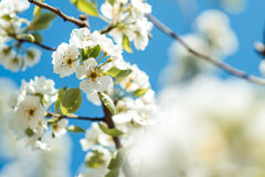 Beautiful cherry blossoms with blue sky. Spring. Stock Image