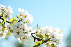 Beautiful cherry blossoms with blue sky. Spring. Stock Photo