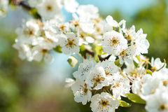 Beautiful cherry blossoms with blue sky. Spring. Royalty Free Stock Photography