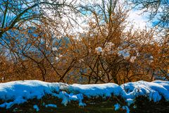 Beautiful cherry blossoms on a branch with snow on them .Azerbaijan is Bashdagaygil village of Oghuz region stock image