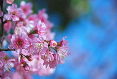 Beautiful Cherry blossoms in Chiangmai, Thailand Stock Image