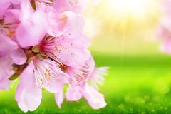 Beautiful cherry blossoms closeup with blurred sunny green background royalty free stock photos