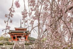 Beautiful cherry blossoms at the entrance to Kiyomizu-dera temple in Kyoto, Japan royalty free stock photo