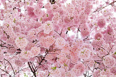 Beautiful cherry blossoms filling the frame stock photo